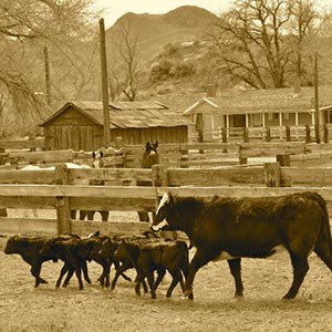 Sanchez Ranch Cattle